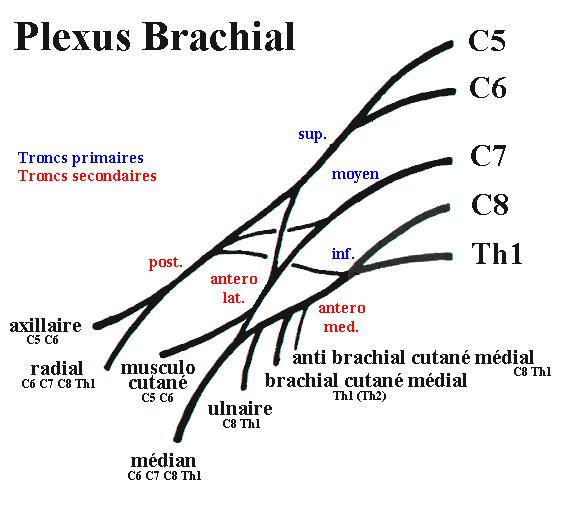 plexus brachial plexus nerveux brachial. Black Bedroom Furniture Sets. Home Design Ideas